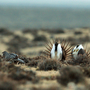 Forest Service proposes changes to sage grouse protections