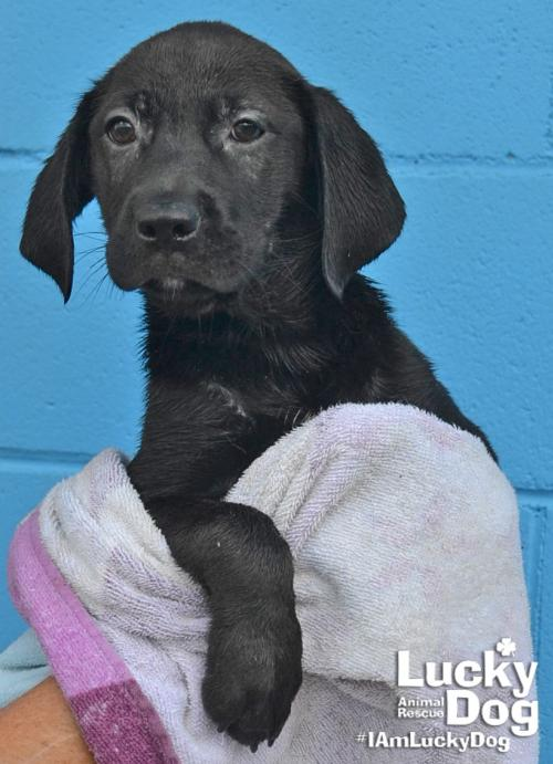Clyde  is a 10-week-old, 10-pound Black Labrador mix who was evacuated before the storm from{ }Florence, South Carolina. If you are interested in adopting Clyde, you can meet him Sunday (September 16) from 12-2 pm at the Kentlands PetSmart in Gaithersburg, MD. (Image: Courtesy Lucky Dog Animal Rescue){ }