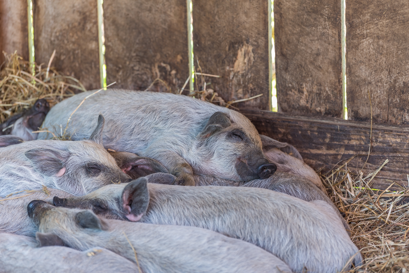 <p>Sleepy piglet / Image: Mike Menke // Published: 6.13.19</p><p></p>