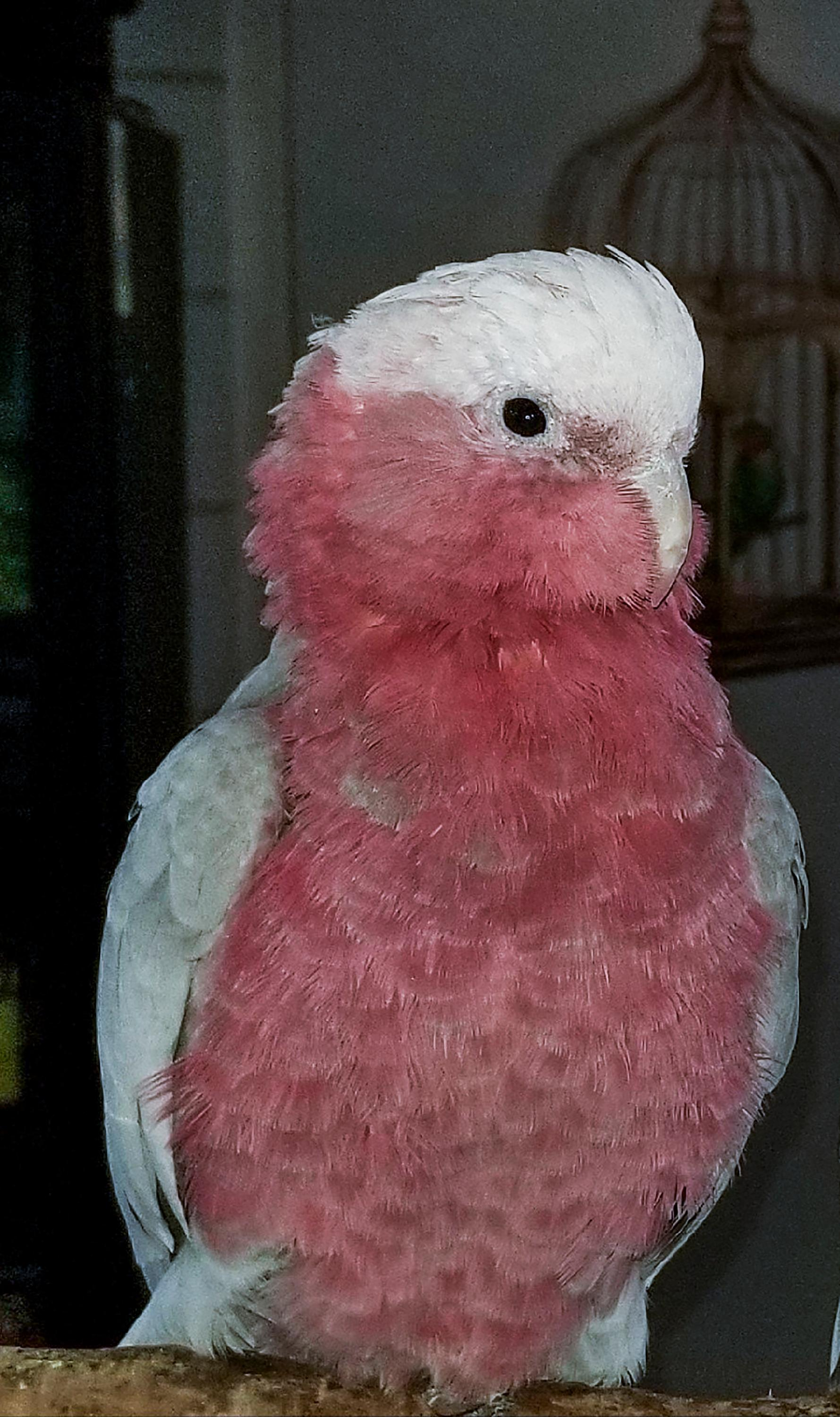 This undated photo provided by Birds-N-Paradise pet store shows a Galah cockatoo, also known as the rose-breasted cockatoo, one of the birds stolen from the Birds-N-Paradise pet store in Menifee, Calif., early Friday, March 16, 2018. Store owners said the bird is worth $2,200. (Lori Lister/Birds-N-Paradise via AP)