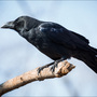 City of Nampa creates plans to deter crows crowding in downtown area