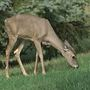 Deadly disease spreading among deer