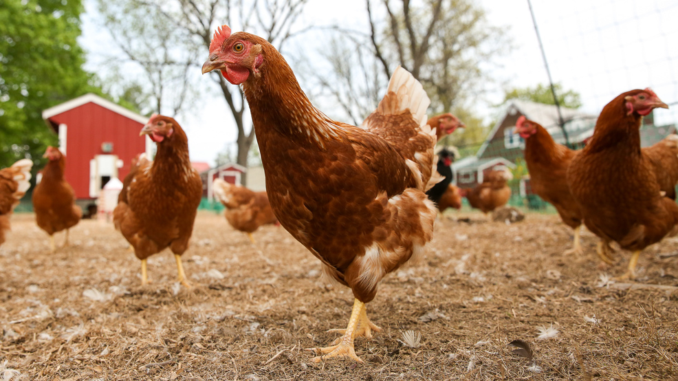 Now you can rent egg laying hens, which is just as awesome