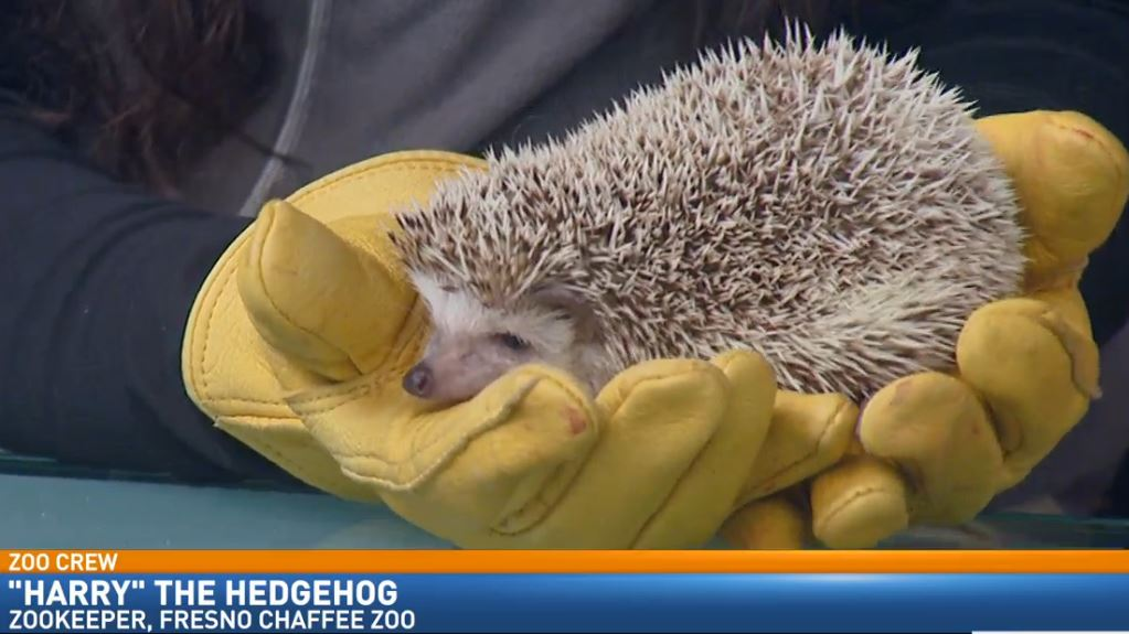 Zookeeper Melissa Rubinow visited Great Day with an African Pygmy Hedgehog.