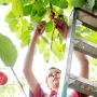Growing woes reducing size of bing cherry crop