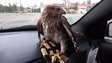 Harvey the Hurricane Hawk seeks refuge in Houston man's taxi