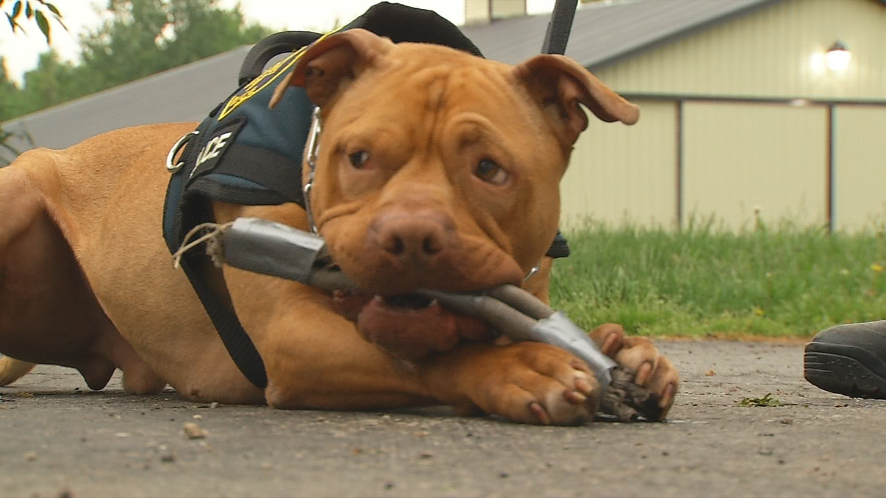 Leonard came to the Union County Humane Society shelter in late 2016,  and the director noticed he had a personality that could make him a great police dog (WSYX/WTTE)