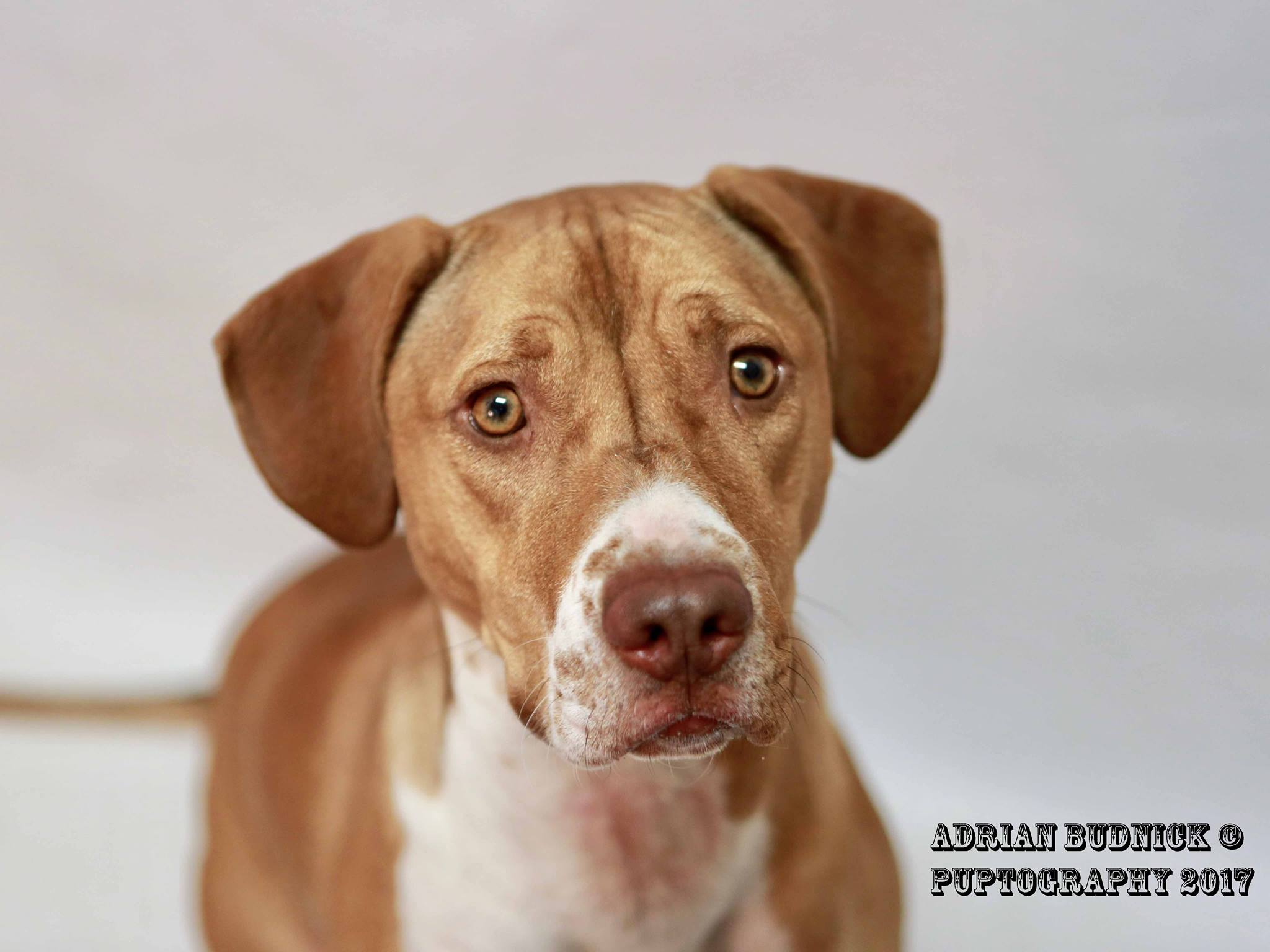 Georgia A136882 is a 1 year old pit bull. She is available at Metro Nashville Animal Care and Control