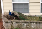 Peacock spotted on SW 166th Terrace - Photo from Beaverton Police.jpg
