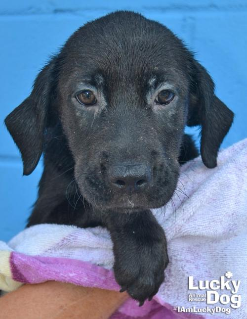 Callie is a 10-week-old, 10-pound black lab mix who was evacuated before the storm from{ }Florence, South Carolina. If you are interested in adopting Callie, you can meet her{ }Sunday (September 16) from 12-2 pm at the Kentlands PetSmart in Gaithersburg, MD. (Image: Courtesy Lucky Dog Animal Rescue){ }