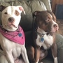 Two pit bulls shot in Buxton, one still missing