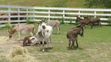 Seven mini donkeys rescued in Maine could soon be yours