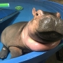 Fiona the hippo continues to pack on the pounds