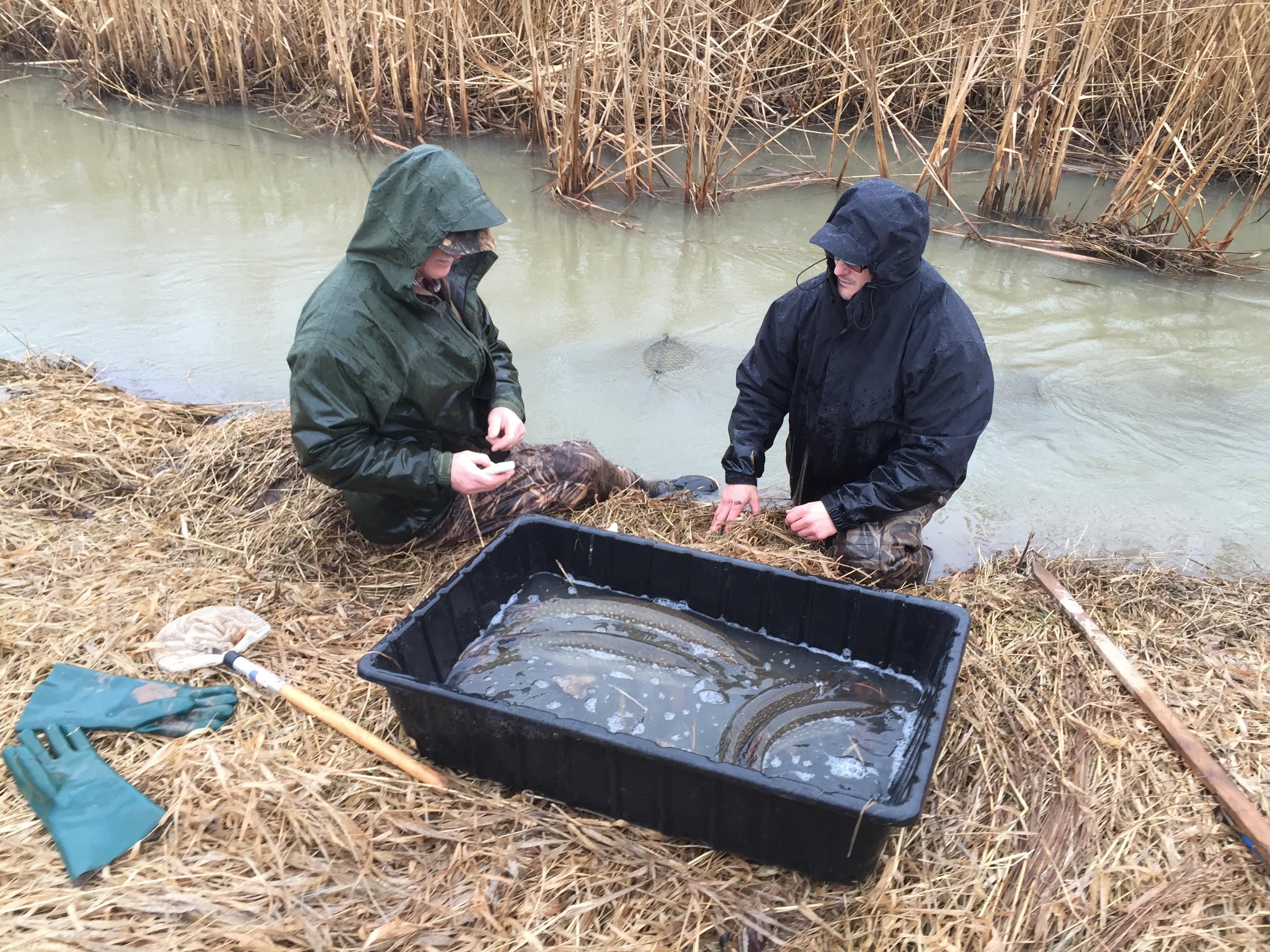 Chuck Larscheid and David Wetenkamp tag northern pike on Willow Creek in Bellevue, April 4, 2017 (WLUK/Eric Peterson)