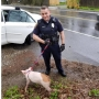 'Swine whisperer' officer apprehends pig on the run in Falmouth