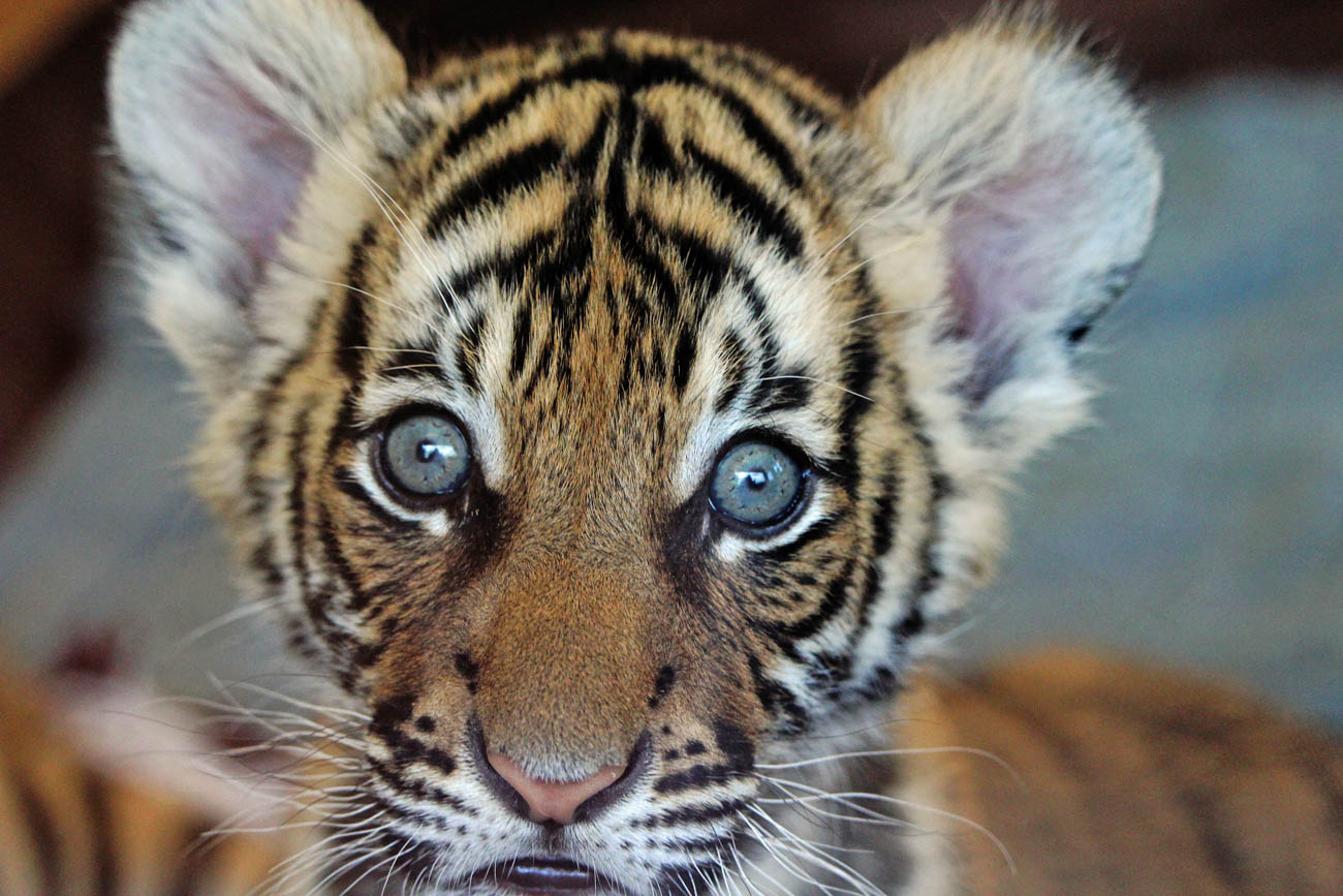 A Cincinnati Zoo tiger cub / Image: Larry Thomas // Published: 1.16.19