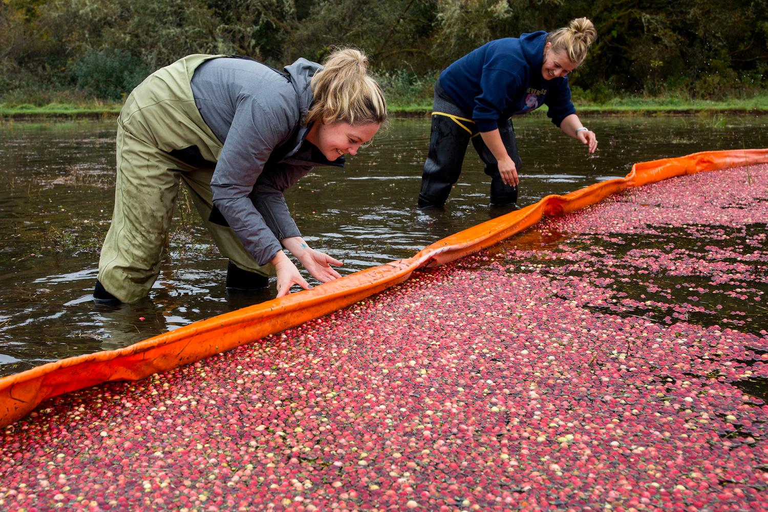 Volunteer Alisa Rudnick, left, Tiffany Turner, co-owner of Pickled Fish, help push the floating boom along to corral the floating berries during the annual harvest at Starvation Alley Farms. When the cranberries are ready to harvest, the farmers flood the bog, then use a machine to beat the vines that release the berries, which then float to the top. (Sy Bean / Seattle Refined)