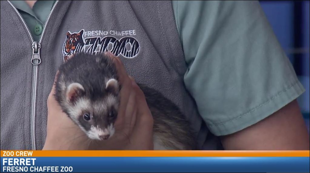 Zookeeper Melissa Rubinow visited Great Day with a Ferret