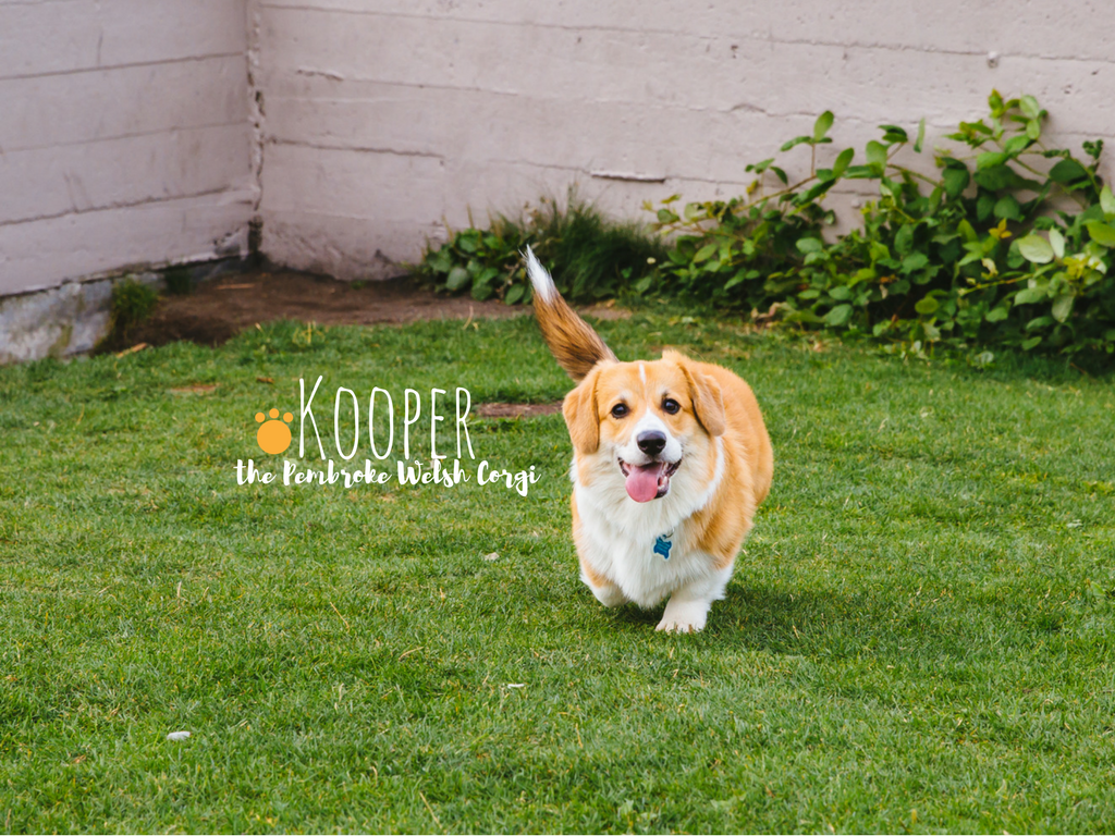 Corgi, corgi, cooorgi! Corgi's are our spirit animal. Everyone meet, Kooper! Kooper is a six-month old Pembroke Welsh Corgi and has floppy ears, a long tail, and lives in Fremont with his mom and dad. Kooper likes string cheese, belly rubs, and singing along to fire trucks. He dislikes hair dryers, his collar, and the Huskies. The Seattle RUFFined Spotlight is a weekly profile of local pets living and loving life in the PNW. If you or someone you know has a pet you'd like featured, email us at hello@seattlerefined.com or tag #SeattleRUFFined and your furbaby could be the next spotlighted! (Image: Sunita Martini / Seattle Refined).