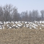 Gigantic gaggle of geese gathers near Heartland home