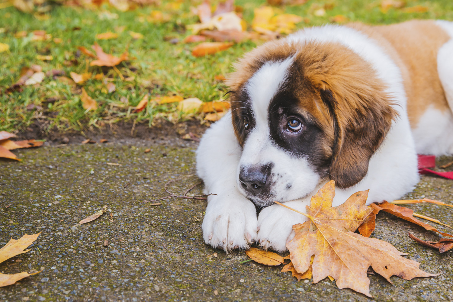 Look at this little floofy butt! Meet John Candy. John Candy is a five-month-old Saint Bernard who can be described as a floppy man who wants to meet everyone. John Candy likes water, treats, and golden retrievers. He dislikes nothing because he's too young to be bitter! You can follow little John Candy's journey at @motleycrewalking! (Image: Sunita Martini / Seattle Refined).