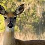 Woman dies after deer ricochets off 1 car, strikes hers