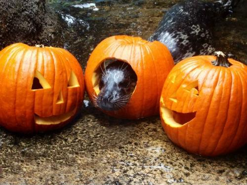 A harbor seal enjoyed its jack-o-lanterns.