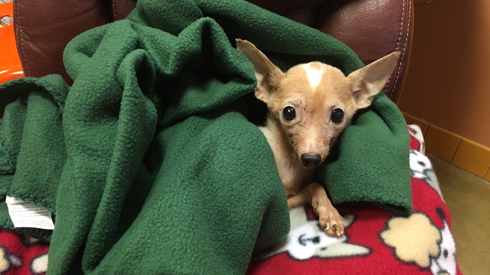 Androscoggin Humane Society >> Shelter offers reward for information leading to owner of Chihuahua found in trash | WGME