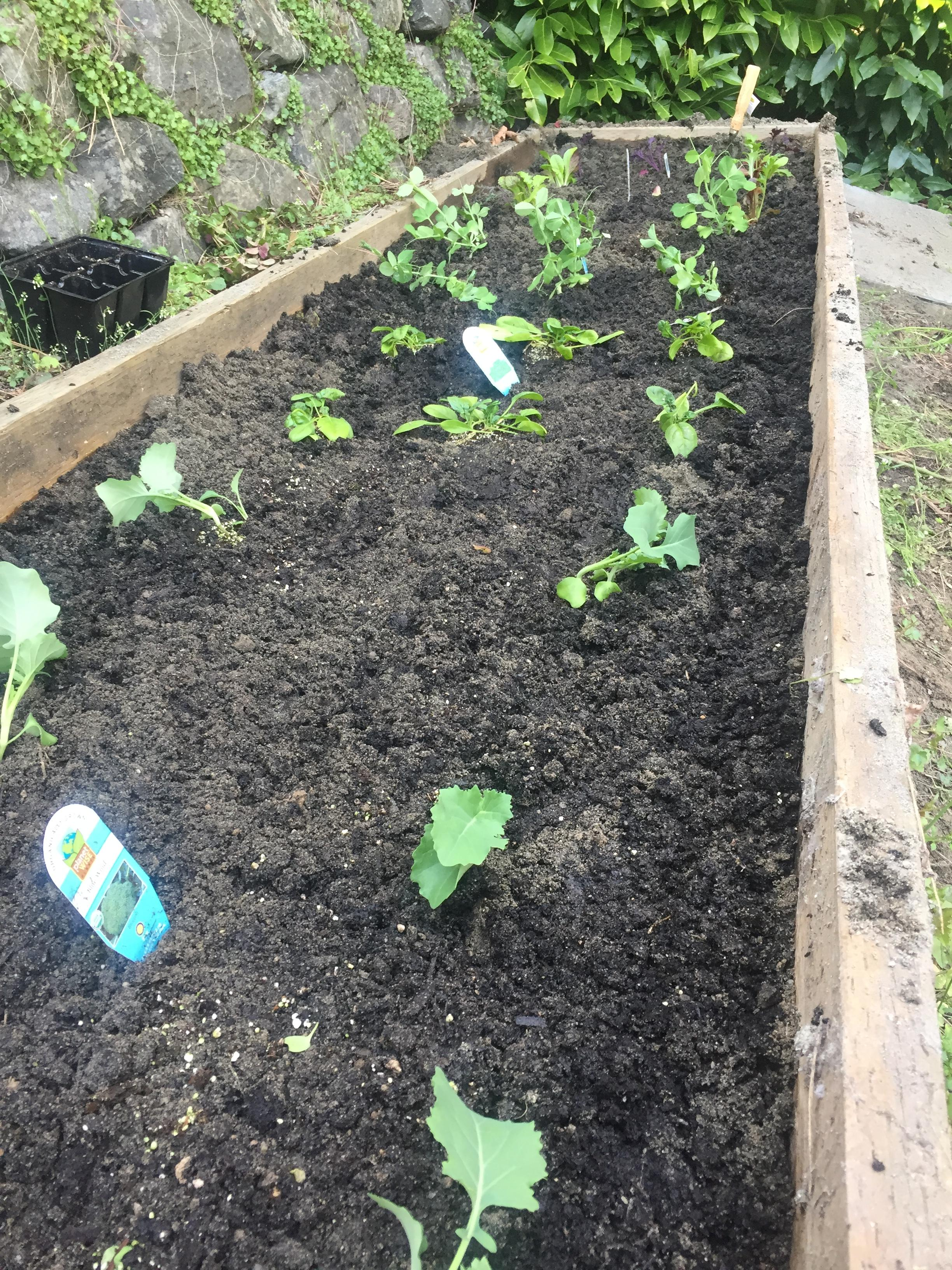 After planting all the veggies we got at the nursery. Good news- the little ID tag tells you how far apart each plant needs to be. (Image: Susan Galbraith)