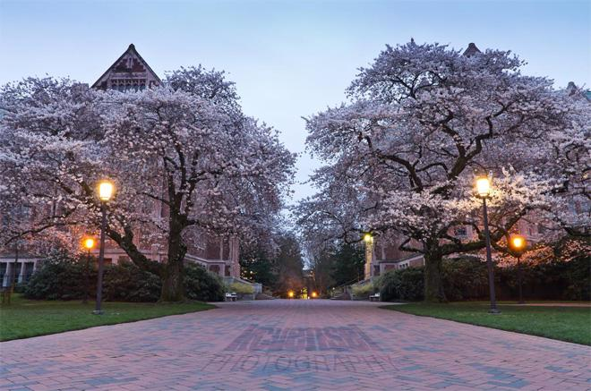 Early morning Cherry Blossoms at the Quad on the University of Washington campus. Photo: Ken Vensel