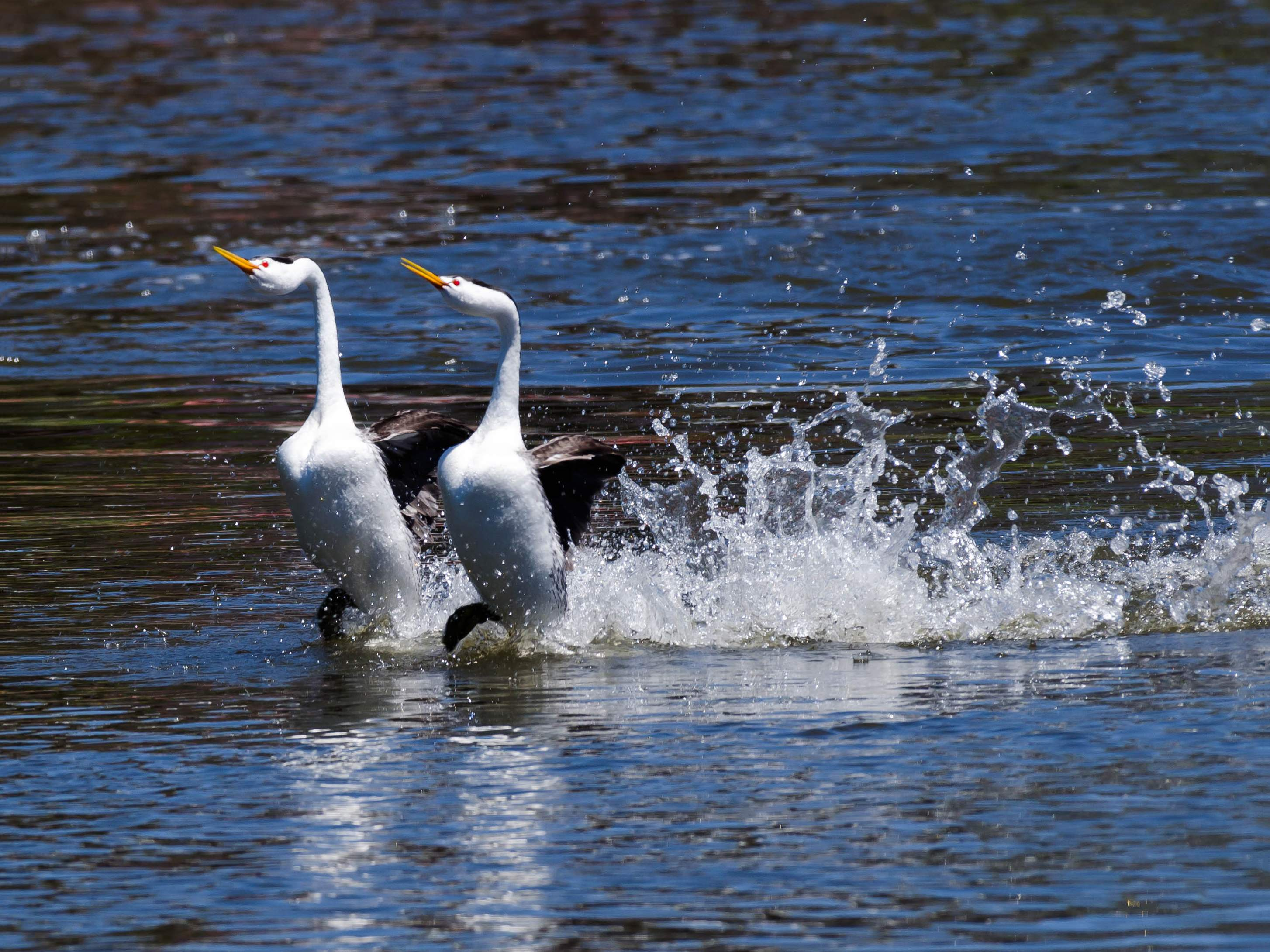 Western grebes churn up a wake at Moore Park in Klamath Falls. - Photo by Lawrence Bradburn