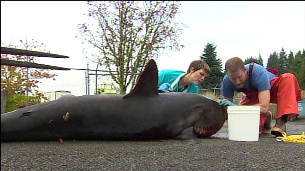 12-foot long shark found dead in Wishkah River   KOMO