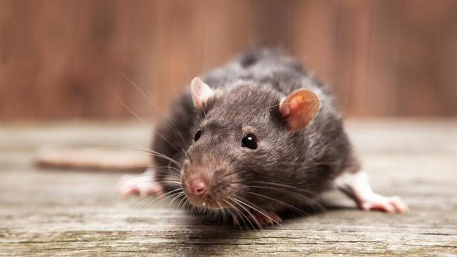 America's rodent problem by the numbers
