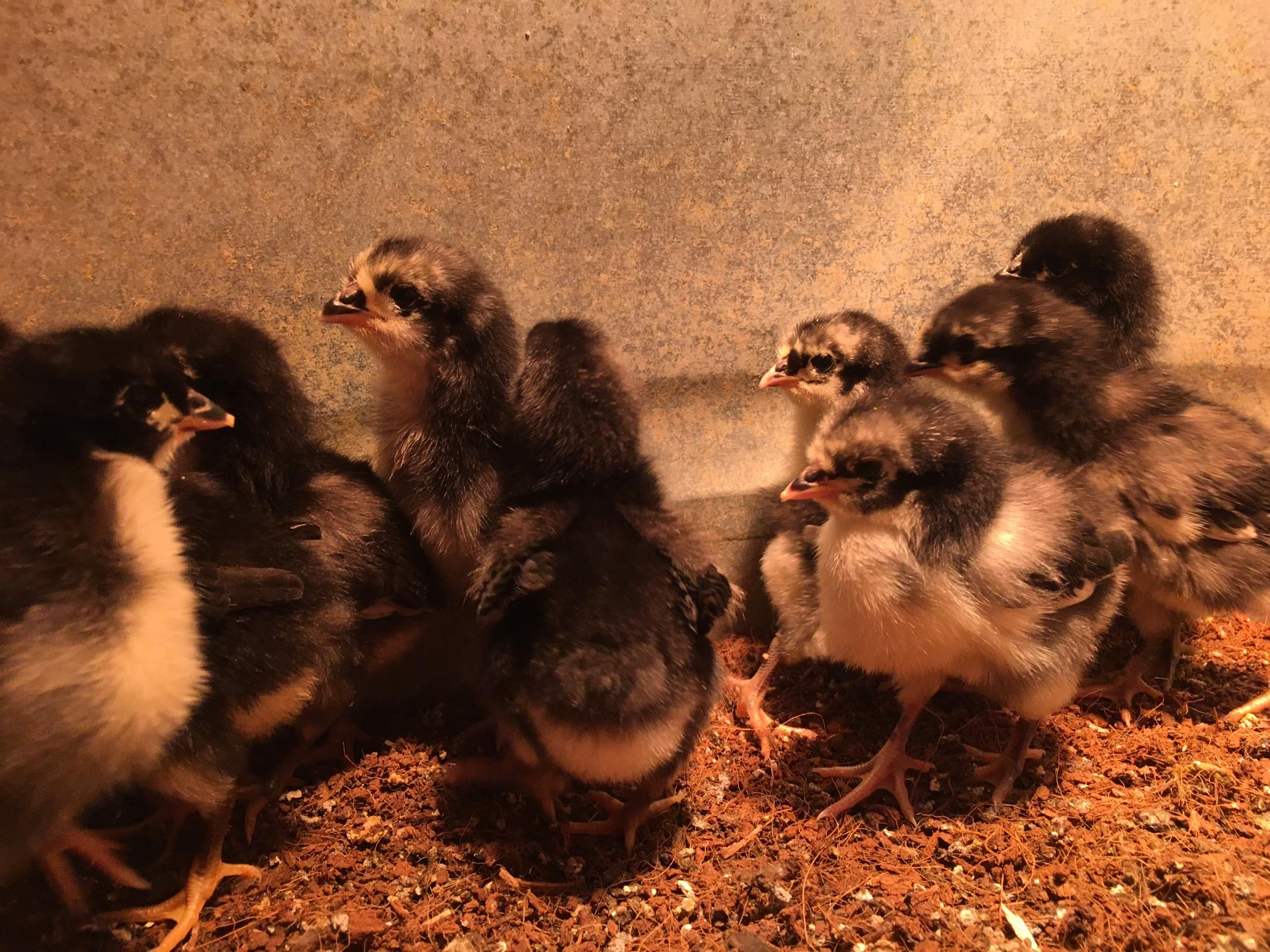 Chick season begins in early February and goes through late August. Photo: Ellen Meny