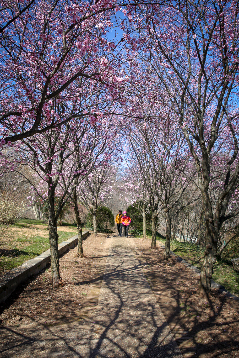 Dumbarton Oaks expansive gardens feature plenty of blooming cherry trees and the $10 cost of admission tends to drive away the bulk of tourists. However, the gorgeous rows of blooms make the price well worth it. Plus, you can explore the rest of the manicured gardens and well-curated museum. (Amanda Andrade-Rhoades/DC Refined)