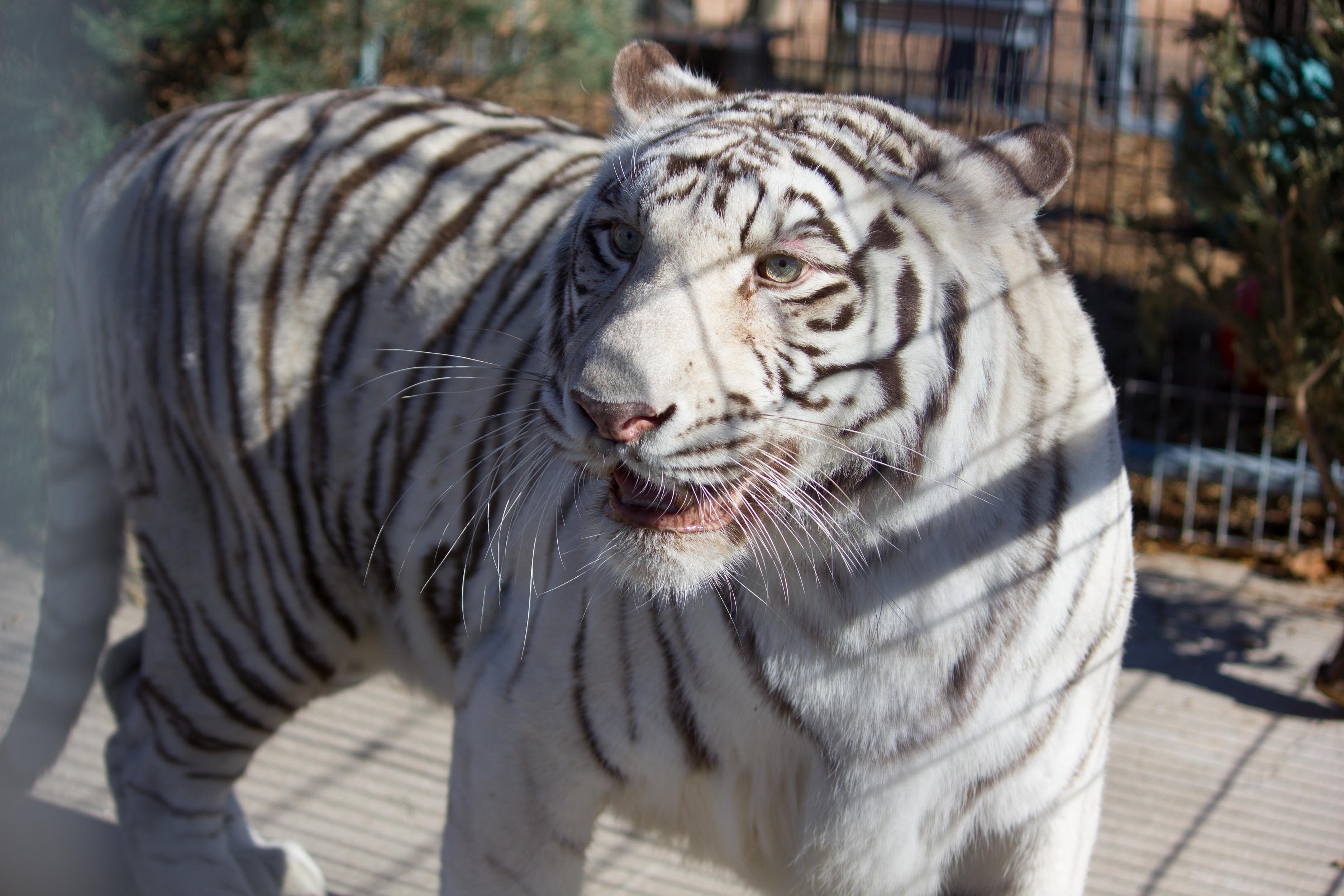 <p>The Nebraska zoo has been looking for a new home for Payson, a 13-year-old female, since deciding to shift its focus toward its Amur tiger species survival program. (Photo courtesy: Turpentine Creek Wildlife Refuge)</p>