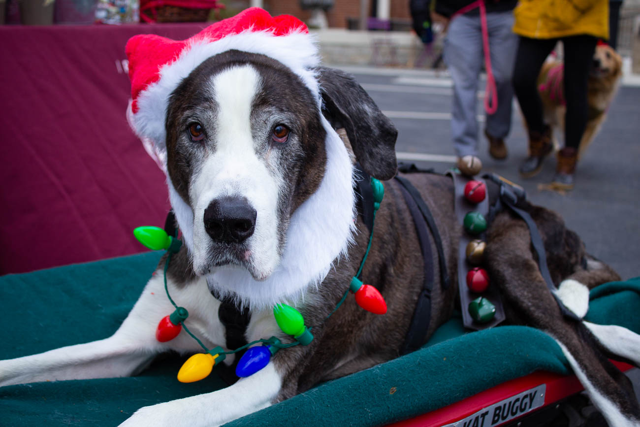 Xander is an 11-year-old Great Dane and St. Bernard mix. He may not have been able to walk in the parade, but he rode along in style. / Image: Katie Robinson // Published: 12.9.18