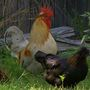 Stray roosters and hens terrorize a downtown neighborhood