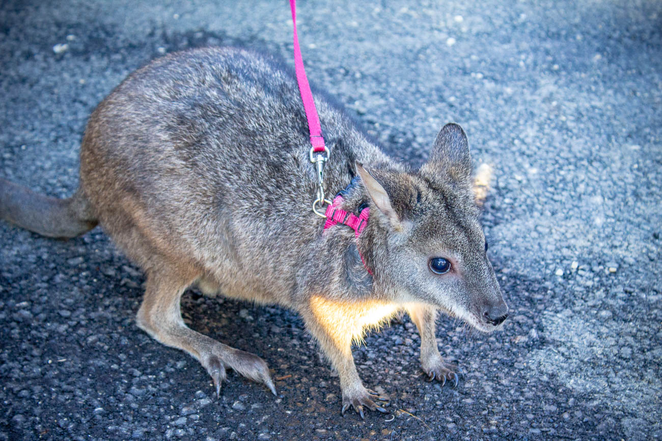 Adams the parma wallaby / Image: Katie Robinson, Cincinnati Refined // Published: 10.9.19