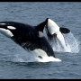Biologist: Orca attacks on gray whales up in California bay