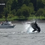 Dramatic video shows killer whales hunting sea lion in Salish Sea