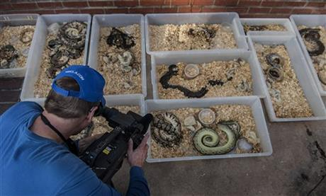 A television cameraman records snakes brought out of a house in Santa Ana on Tuesday, Jan. 29, 2014.