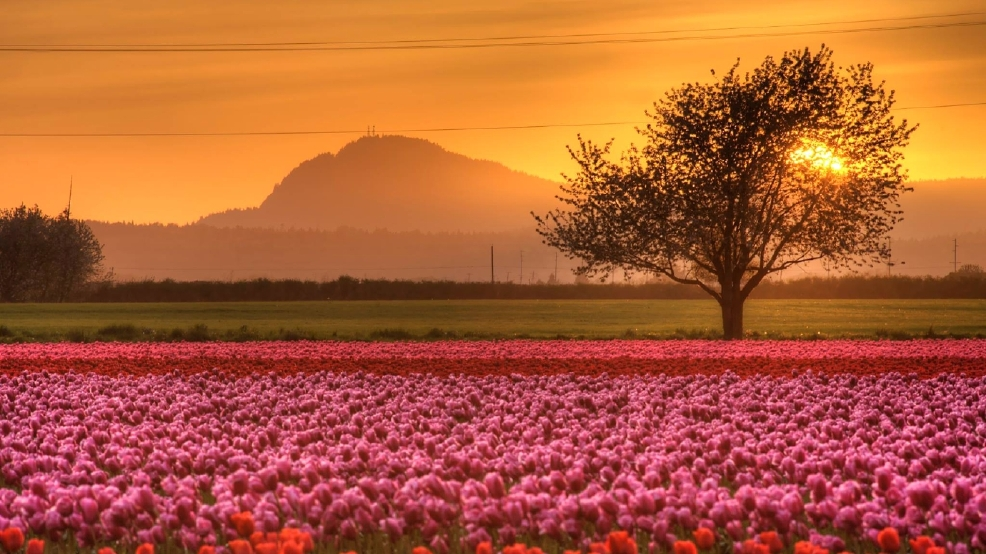 Warm April to bring early end to Skagit Valley Tulip Festival