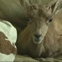 Raising a Bighorn sheep: the after-hours of a zookeeper