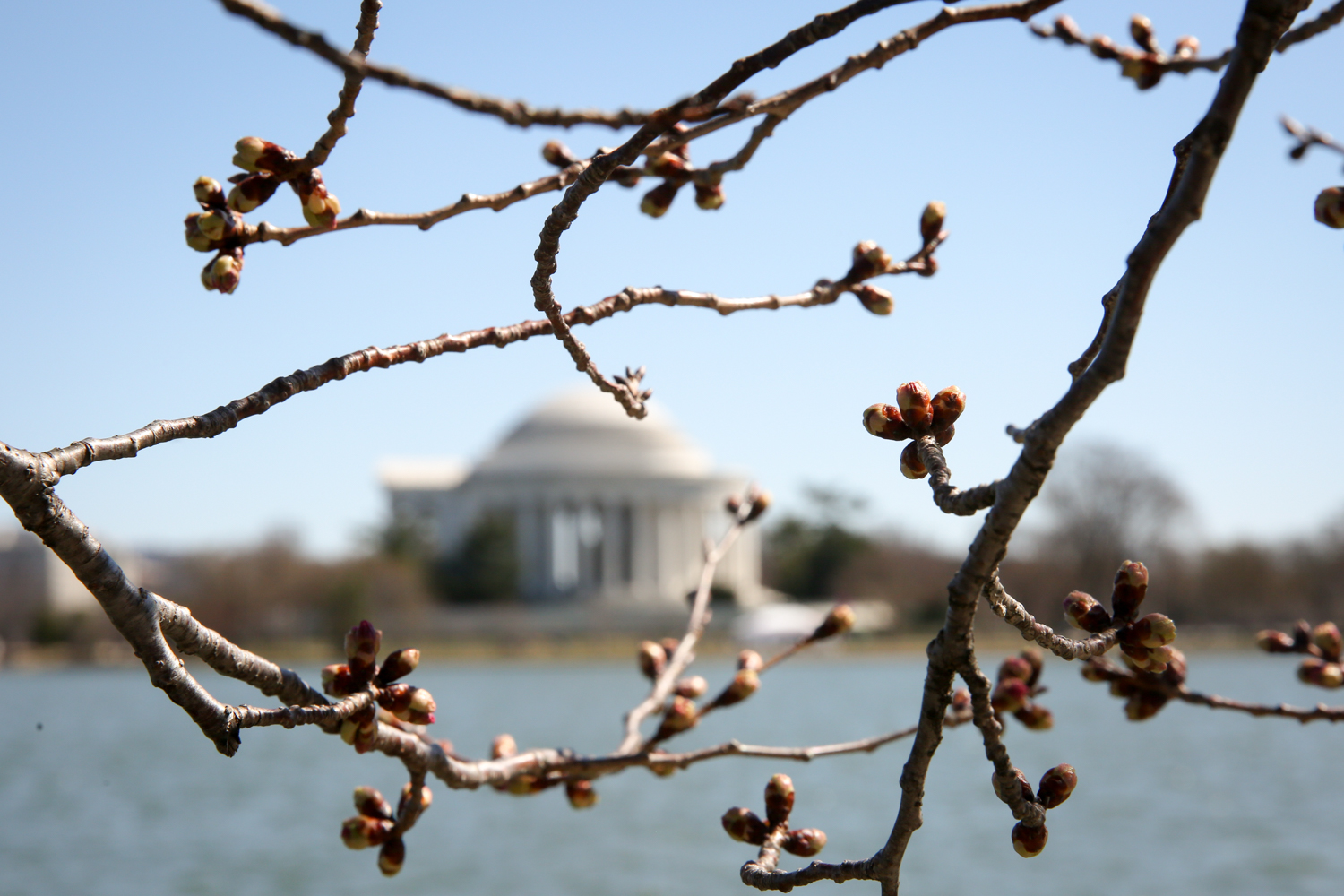 The weather has been all over the place, but those who are hoping the lack of snow will somehow speed up this year's cherry blossom blooms are out of luck.{ } According to NPS, the cherry blossoms along the Tidal Basin reached phase two - visible florets - around March 16. Currently, NPS estimates peak bloom will happen between March 27-31. Still, the lack of pink blooms haven't stopped the relentless flow of tourists. (Amanda Andrade-Rhoades/DC Refined)