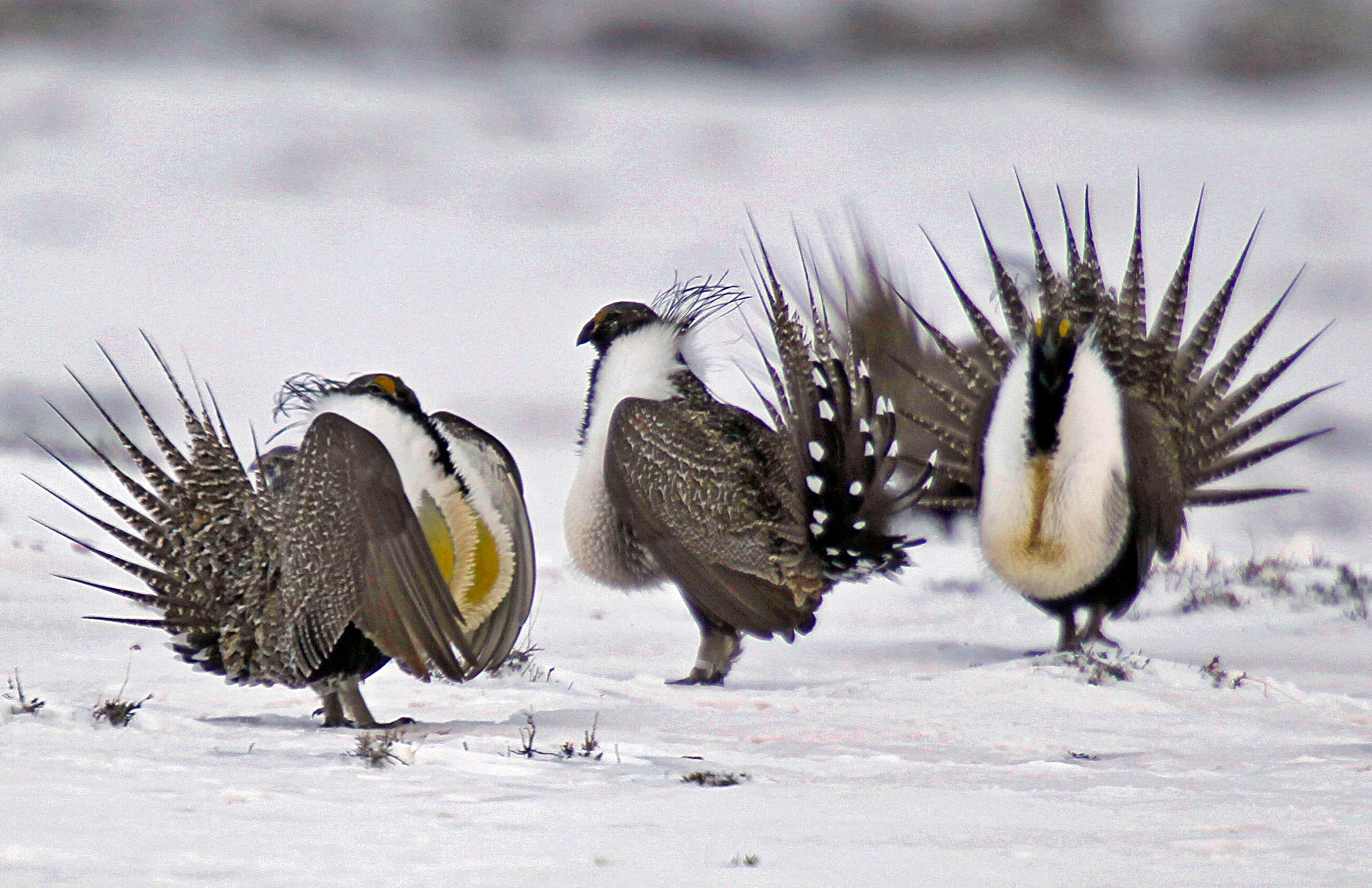 FILE - In this April 20, 2013 file photo, male greater sage grouse perform mating rituals for a female grouse, not pictured, on a lake outside Walden, Colo. More than 50,000 square miles of Bureau of Land Management land in the West has been identified as priority habitat for the birds. Western lawmakers are arguing that BLM headquarters should be moved from Washington, D.C., to the West because of its influence there. (AP Photo/David Zalubowski, File)