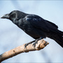 Wildlife officials investigate after 28 crows found dead
