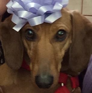 <p>They are very upset about missing their seven-year-old dachshund, Lilli, who was in her crate in the back of the vehicle. (Courtesy of Jane Gideon)</p>