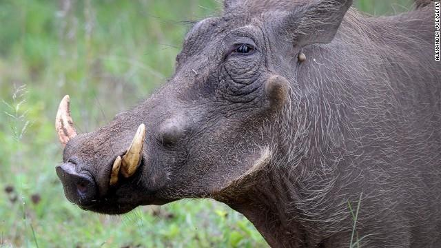 The warthog is found throughout Sub-Saharan Africa.