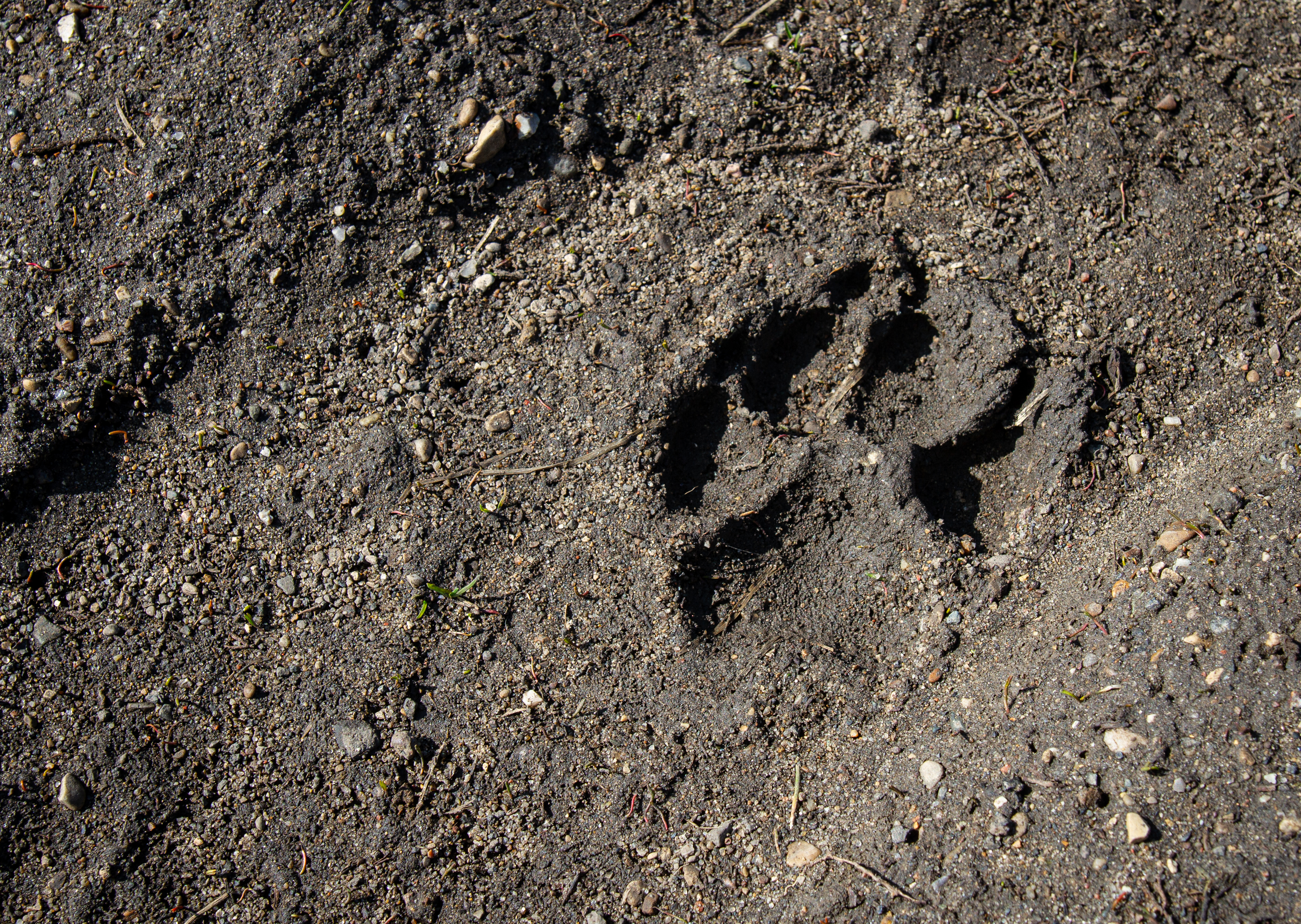 A paw print marks the dirt at Asylum Lake Preserve in Kalamazoo on Wednesday, March 25.{ }(WWMT/Sarah White)